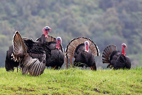 group-of-wild-turkeys