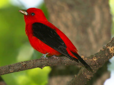 songbirds_scarlet-tanager